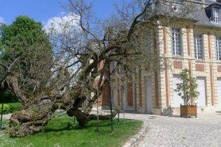 Le catalpa (18e siècle) dans le jardin du château de Gournay